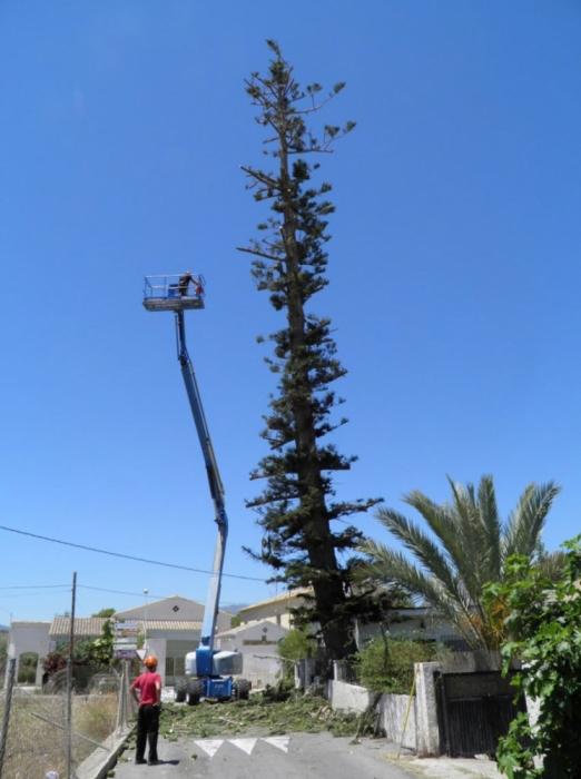 L'equip d'arboricultura monumental de la Conselleria de Medi Ambient realitza treballs de poda i manteniment en l'araucaria centenària