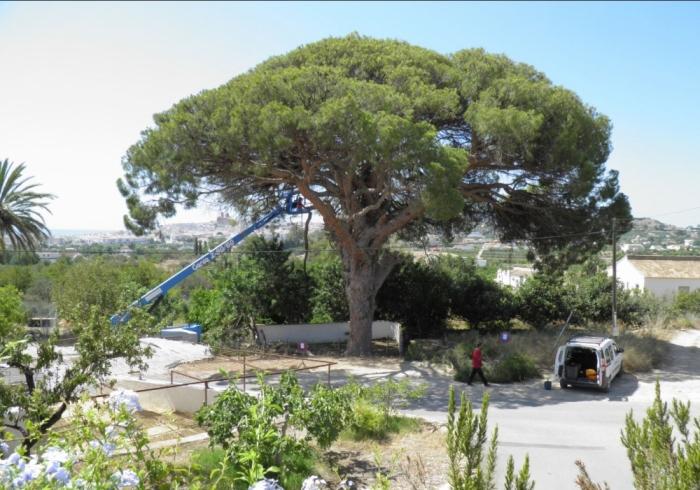 L'equip de Patrimoni Arbori Monumental dirigix els treballs recuperació del Pi del Senyoret