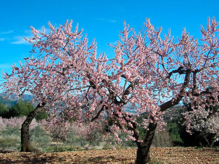 Los productores alteanos de almendra pueden comercializarla a través de la Cooperativa Agrícola