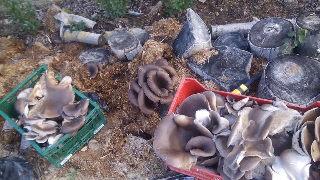 Cultiu d'espècies amb interès culinari i medicinal