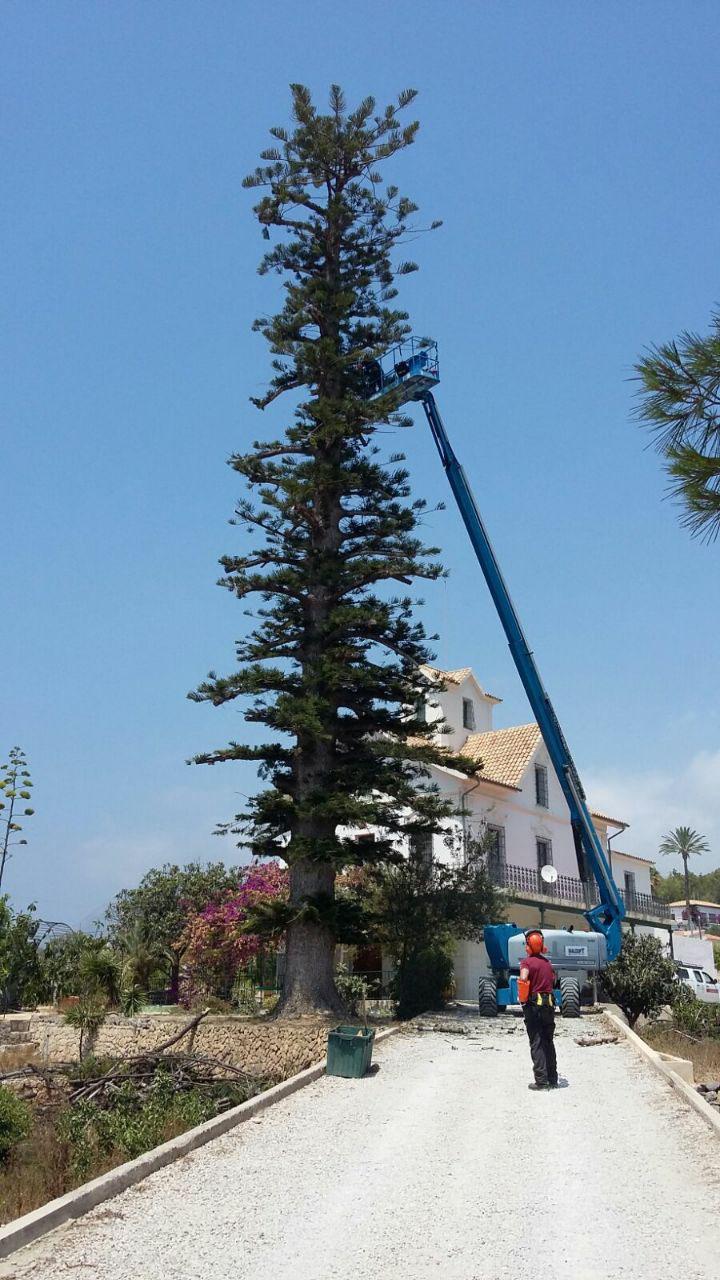 L'equip d'arbres monumentals de la Conselleria poda l'araucaria de la finca Mar i Cel