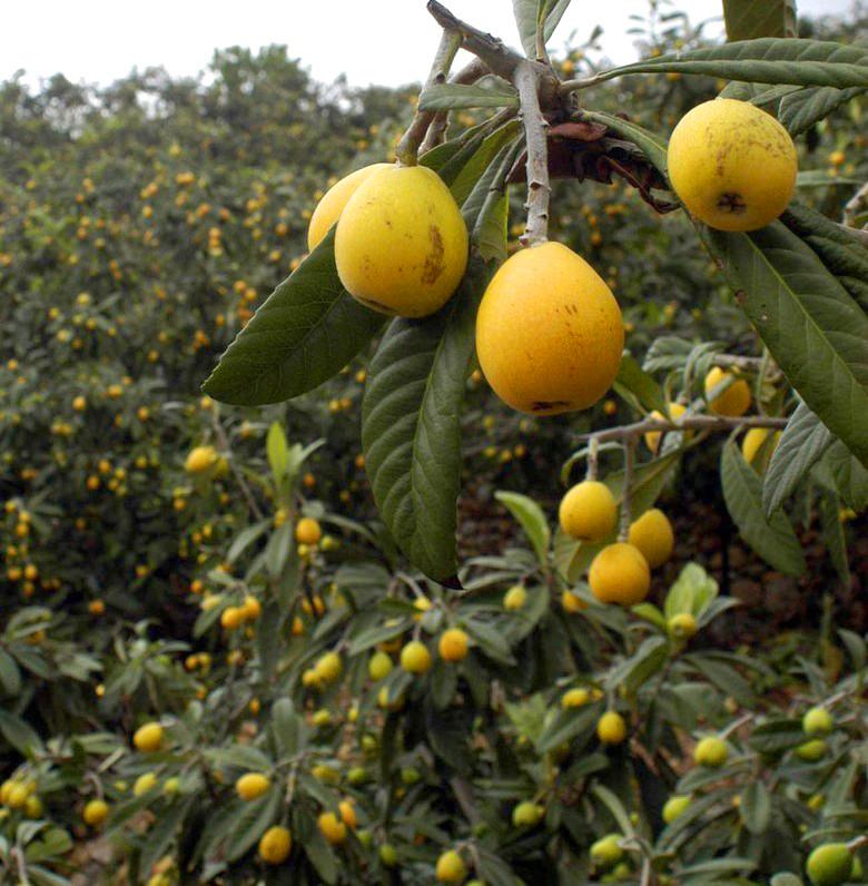La Cooperativa Agrícola lanza una serie de recomendaciones a los productores de níspero y celebra una reunión informativa para aquellos que tengan asegurada la cosecha