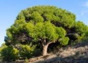 El Pleno aprueba por unanimidad el Catálogo Municipal de Árboles Monumentales