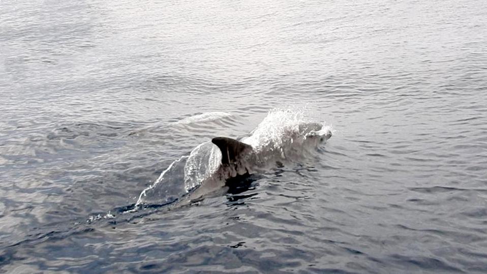 Augmenta l'albirament de dofins per part de Servei de Vigilància Marina del Parc Natural de Serra Gelada