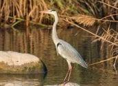 El riu Algar experimenta una gran afluència d'avifauna i noves espècies en l'època de nidificació coincidint amb el confinament