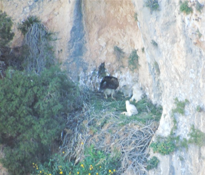 Localizado un nido de águila perdicera con tres crías en la Sierra de Bèrnia