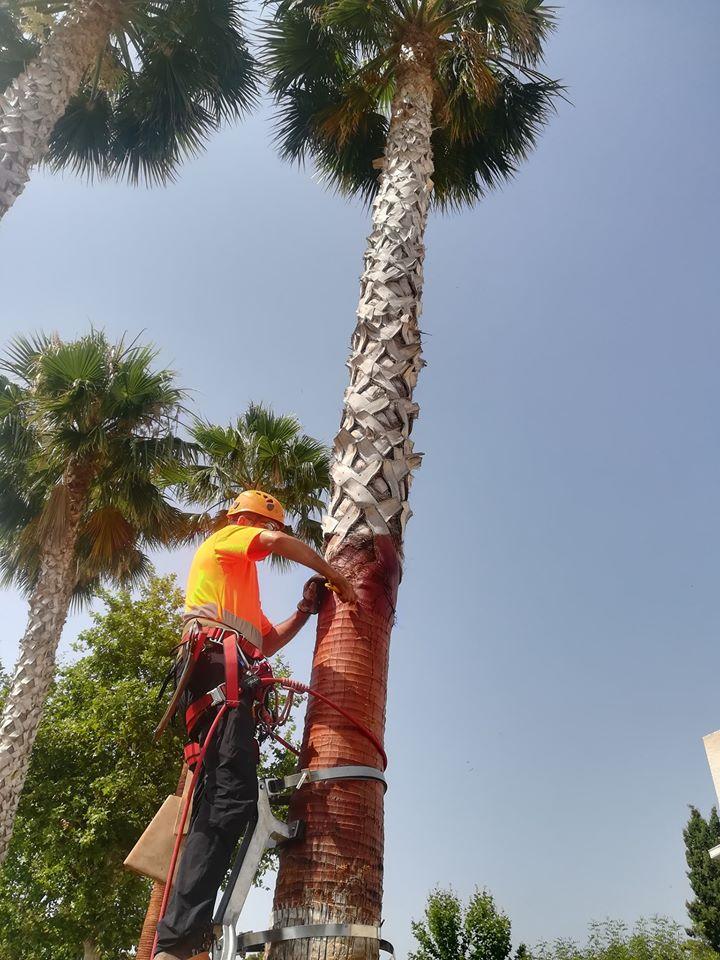 Les palmeres d'Altea milloren la seua imatge i salut gràcies a la poda en alçada