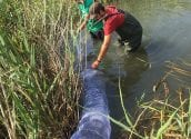 Medi Ambient porta a terme una campanya de control de la tortuga de Florida a la desembocadura del riu Algar