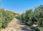 L'Ajuntament trasllada l'Almàssera per donar resposta a la temporada de l'oliva