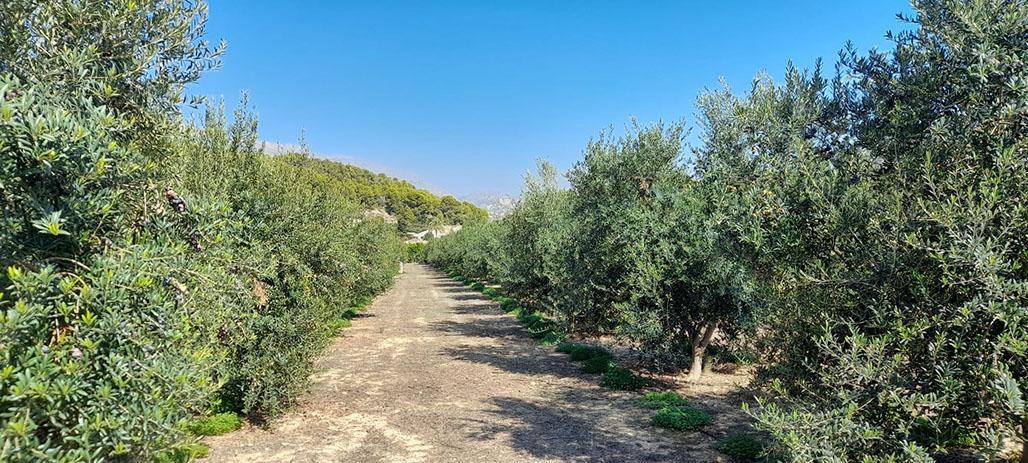 El Ayuntamiento traslada la Almazara para dar respuesta a la temporada de la oliva